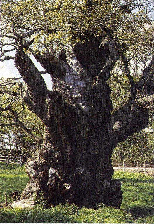 Ancient oak, Aldermaston Court