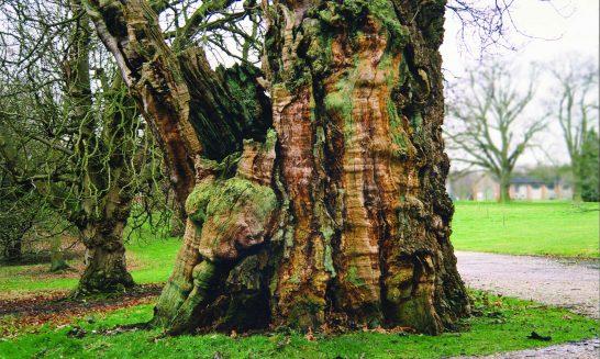 Manor House Oak Tree